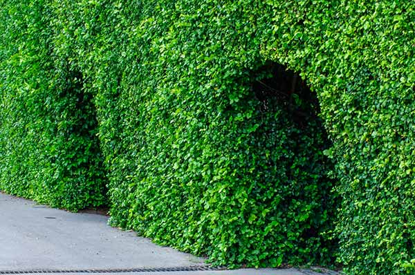 hedge vancouver